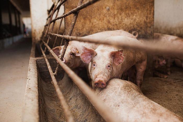 生猪养殖现场图